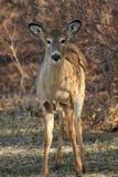 Jonge Herten Whitetail Royalty-vrije Stock Foto