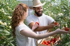 Jonge het glimlachen de arbeider van de landbouwvrouw het oogsten tomaten in serre stock afbeeldingen