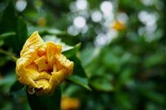 Jonge Hibiscus rosa Royalty-vrije Stock Fotografie