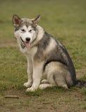 Jonge hond Royalty-vrije Stock Fotografie