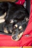 Jonge Hond Royalty-vrije Stock Foto's