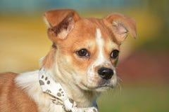 Jonge hond Royalty-vrije Stock Afbeelding