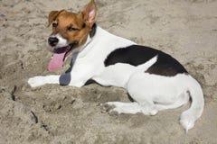 Jonge hond Jack Russel, op het strand Stock Foto
