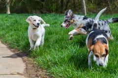 Jonge honden die samen spelen Stock Afbeelding