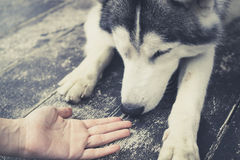 Jonge Husky Siberian-hond die bij menselijke handen snuiven stock afbeelding