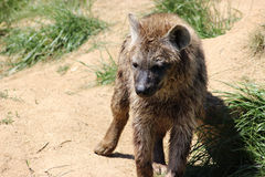 Jonge hyena Royalty-vrije Stock Foto