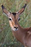 Jonge impala Stock Fotografie