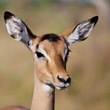 Jonge Impala Royalty-vrije Stock Foto's