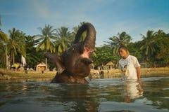 Jonge Indische olifant stock afbeeldingen