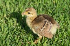 Jonge Indische Peafowl royalty-vrije stock afbeelding