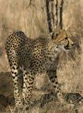 Jonge jachtluipaard Royalty-vrije Stock Afbeelding