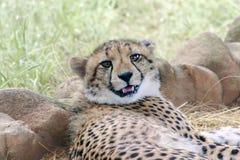 Jonge Jachtluipaard Royalty-vrije Stock Foto