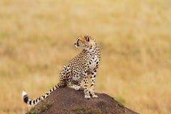 Jonge jachtluipaard die voedsel, Masai Mara zoekt Stock Afbeeldingen