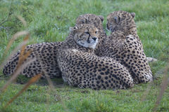 Jonge Jachtluipaard drie Royalty-vrije Stock Afbeeldingen