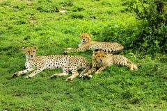 Jonge jachtluipaarden met hun moeder Royalty-vrije Stock Foto's