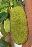 Jonge jackfruit Stock Afbeeldingen