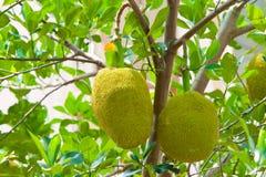 Jonge jackfruit op boom Stock Afbeelding