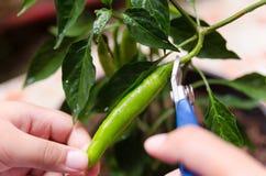 Jonge jongen die groene Spaanse pepers oogsten stock foto