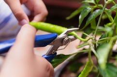 Jonge jongen die groene Spaanse pepers oogsten stock afbeeldingen