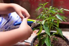 Jonge jongen die groene Spaanse pepers oogsten royalty-vrije stock foto's