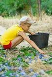 Jonge jongen het plukken pruimen Stock Foto's