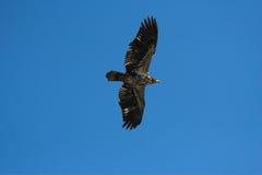 Jonge kale adelaar Stock Afbeeldingen