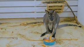 Jonge kangoeroe die vruchten eten stock video
