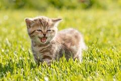 Jonge kat die in gras mauwen royalty-vrije stock afbeelding