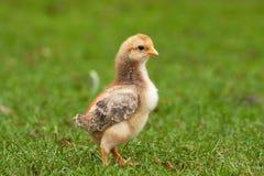Jonge kip op gras 3 Stock Afbeelding