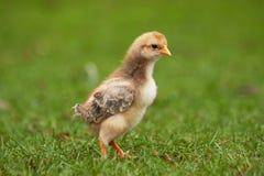 Jonge kip op gras 2 Stock Afbeeldingen