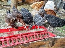 Jonge kippen Royalty-vrije Stock Foto