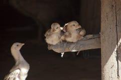 Jonge kippen die onder huis neerstrijken royalty-vrije stock foto's