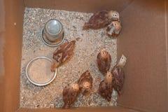 Jonge kippen in een doos Stock Afbeelding