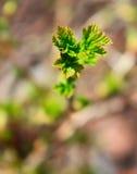 Jonge kleine bladeren van een bes. Stock Afbeeldingen