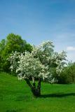 Jonge, Kleine Boom Cerry in Volledige Witte Bloei Stock Fotografie