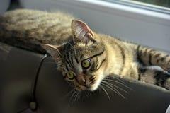 Jonge knappe gestreepte katkat thuis royalty-vrije stock fotografie