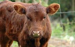 Jonge koe Stock Fotografie