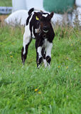 Jonge koe in een landbouwbedrijf royalty-vrije stock foto's