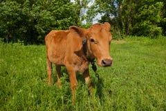 Jonge koe in het weiland in het natuurlijke landelijke plaatsen stock fotografie