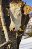 Jonge koe met klok Stock Foto's