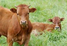 Jonge koeien, kalveren, in een groene weide Royalty-vrije Stock Foto's