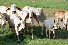 Jonge koeien op het gebied. Stock Foto