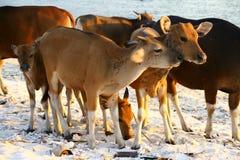 Jonge koeien op het strand Stock Afbeeldingen