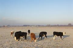 Jonge koeien in winterse weide in alluviale gebieden van rivierlek dichtbij via royalty-vrije stock afbeelding