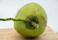 Jonge kokosnoot Stock Afbeelding