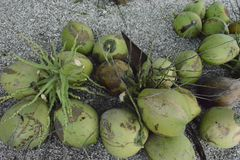 Jonge kokosnoten Stock Foto