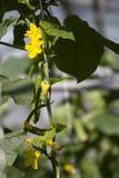 Jonge komkommer. Stock Afbeeldingen
