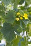 Jonge komkommer. Stock Foto