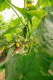 Jonge komkommerinstallatie in openlucht, macroclose-up op een groen blad Royalty-vrije Stock Foto's