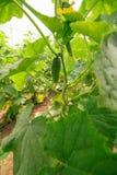 Jonge komkommerinstallatie in openlucht, macroclose-up op een groen blad Stock Foto's